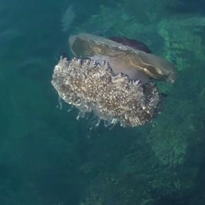"""medusa """"Cassiopea""""     Savudrija  Croazia"""
